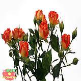 Фиеста Баблз розы, фото 4