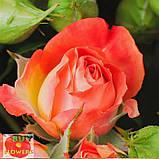 Фиеста Баблз розы, фото 9