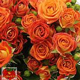 Фиеста Баблз розы, фото 7