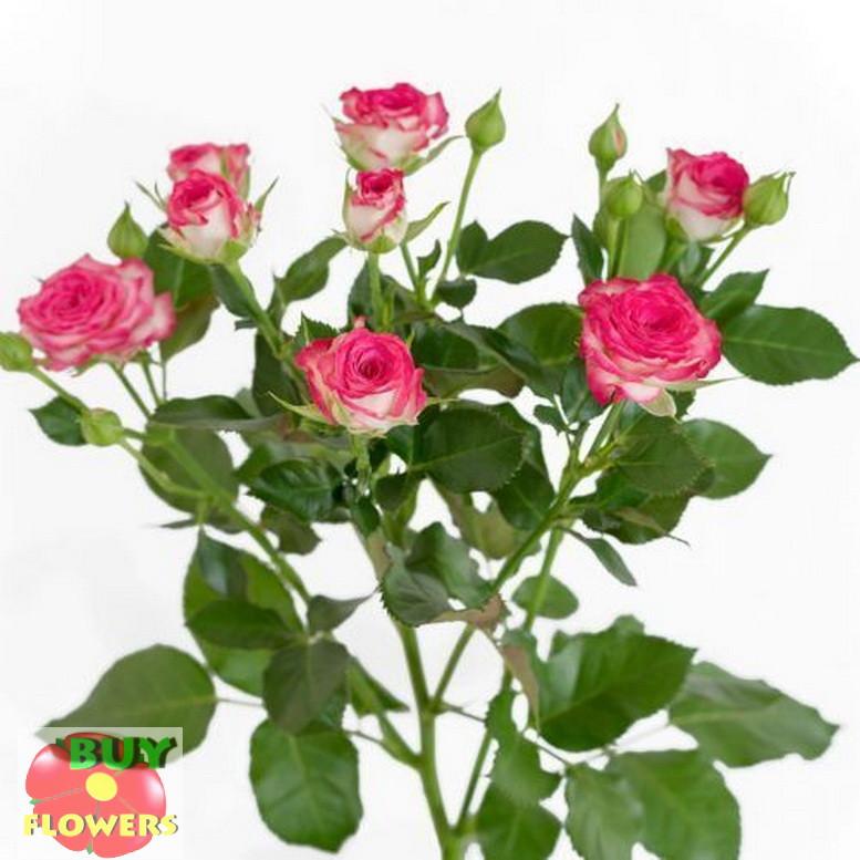 Хейли роза спрей