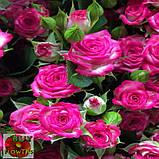 Хейли роза спрей, фото 2