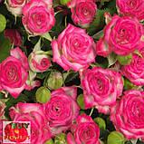 Хейли роза спрей, фото 3