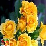 Шанни роза желтая ветка, фото 2