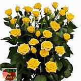 Шанни роза желтая ветка, фото 5