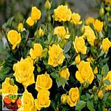 Шанни роза желтая ветка, фото 7