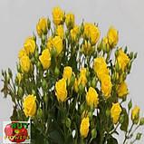 Шанни роза желтая ветка, фото 8