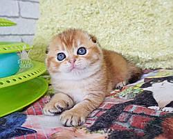 Девочка. Шотландская вислоухая золотая шиншилла, рожден 15.03.2021 в питомнике Royal Cats. Украина, Киев