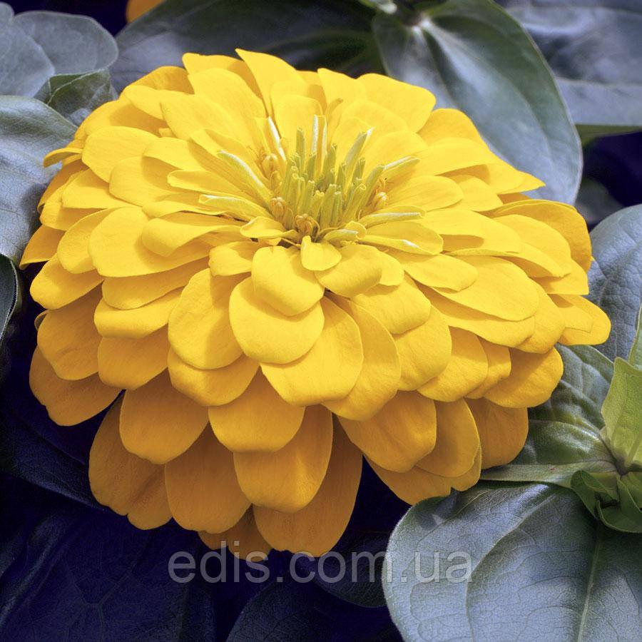 Цинния махровя жёлтая Утренняя птичка 0,5 г, семена Яскрава