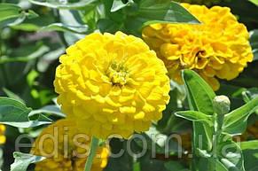 Цинния махровя жёлтая Утренняя птичка 0,5 г, семена Яскрава, фото 3
