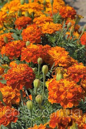 Бархатцы низкорослые Болеро 0,5 г Семена Яскрава, фото 2