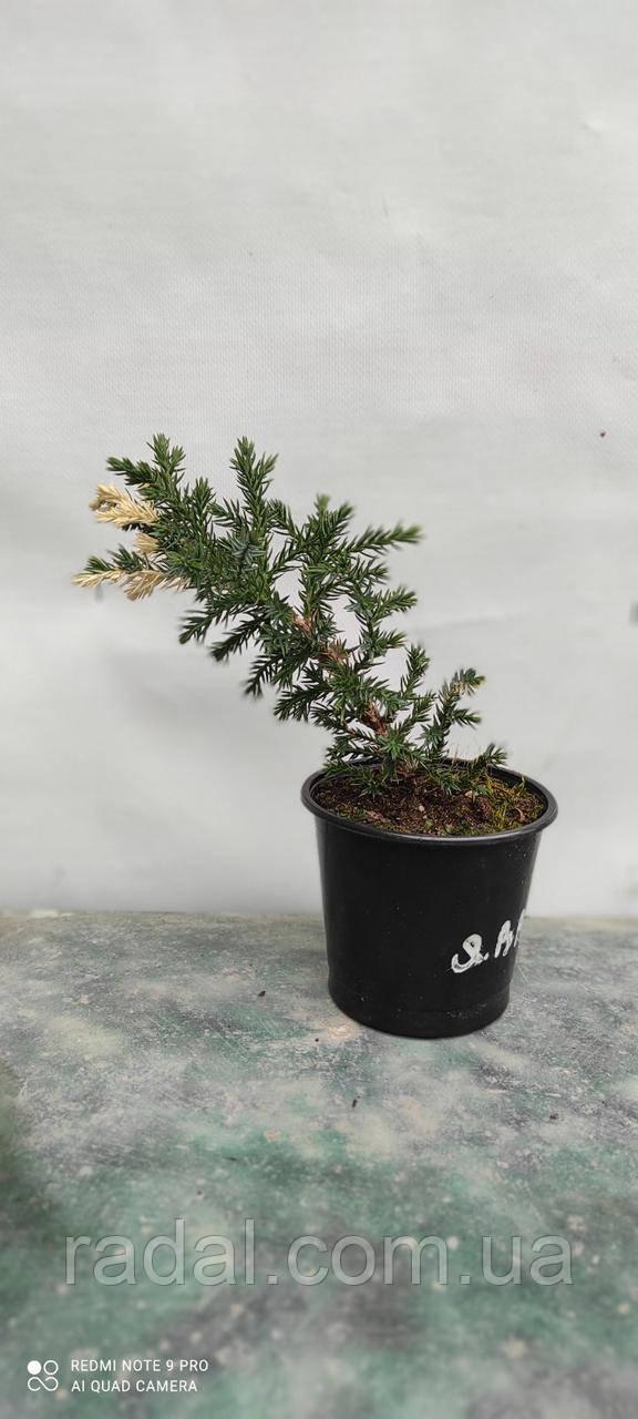 Ялівець китайський Кайзука Варієгата (Juniperus chinensis Kaizuka Variegata)