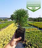 Thuja occidentalis 'Little Giant', Туя західна 'Літл Джаєнт',WRB - ком/сітка,20-30см, фото 3
