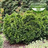 Thuja plicata 'Eschrich's Grune Kugel', Туя складчата 'Ешріхс Грюне Кугель',WRB - ком/сітка,25-35см, фото 2