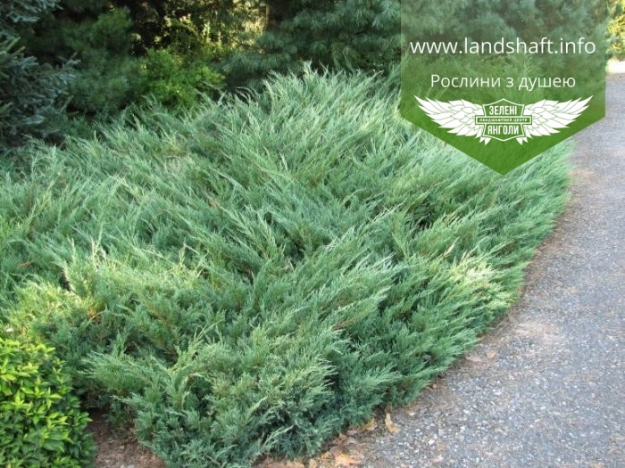 Juniperus sabina 'Glauca', Ялівець козацький 'Глаука',C2 - горщик 2л