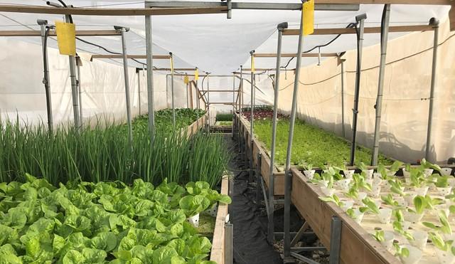 Зелень для выращивания в теплице
