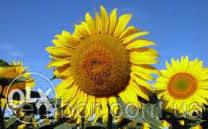 Соняшник посівної гібрид AS 33104 KL
