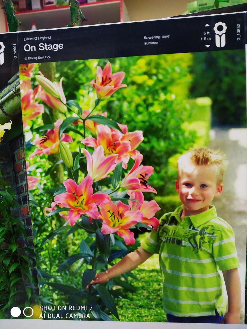 Цибулина лілії ОТ-гібрид ніжно-рожева On Stage  1 шт Junior Голландія