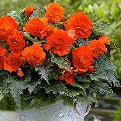 Луковицы Бегония Фимбриата Оранжевая