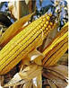 Кукурудза ФРУКТІС урожай 2014 року