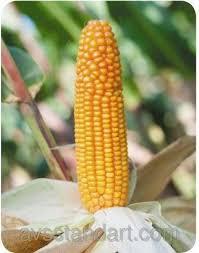 Кукурудза БЕЙМ урожай 2014 року