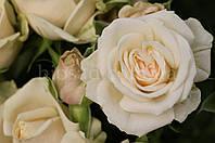 Роза - спрей Грация (Gracia), фото 1