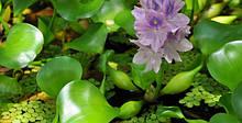 Плавающие растения для водоема