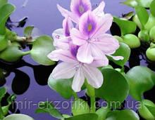 Эйхорния - водяной гиацинт