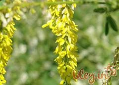 Буркун жовтий (буркун), 500 грам