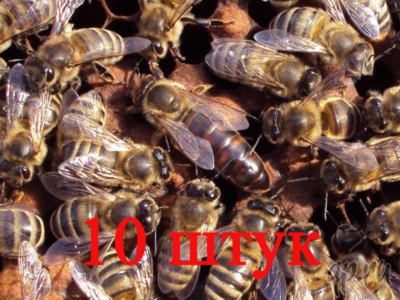 Матка породи Карника (не плодові) - 10 бджоломаток