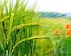 Гербіцид на пшеницю - оптимальне поєднання ціни та якості.