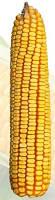 Гибрид кукурузы Солонянский 298СВ