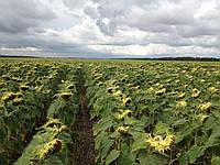 Семена подсолнечник сорт кондитерский Добрыня