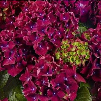 Гортензія крупнолистная Роял Ред Пурпл (Royal Red Purple), дворічна, контейнер