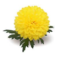 Karina Yellow