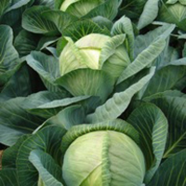 Семена капусты Арривист F1 2500 шт. Seminis / Семинис