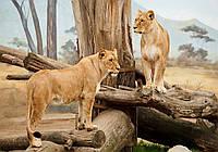 3D Фотообои флизелиновые 368 x 254 см Животные - Могучие львицы (13014V8)