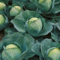 Семена капусты Атрия F1 2500 шт.