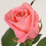 Роза лососевого цвета Анна Карина 40 - 110 см, фото 2