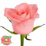 Роза лососевого цвета Анна Карина 40 - 110 см, фото 5