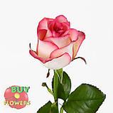 Роза двухцветная Джумилия 40 - 100 см, фото 3