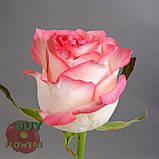 Роза двухцветная Джумилия 40 - 100 см, фото 7