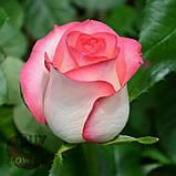 Роза двухцветная Джумилия 40 - 100 см, фото 4
