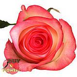 Роза двухцветная Джумилия 40 - 100 см, фото 2