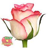 Роза двухцветная Джумилия 40 - 100 см, фото 5