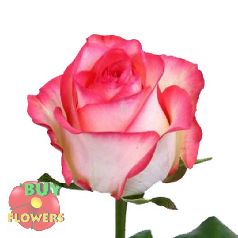 Роза двухцветная Джумилия 40 - 100 см