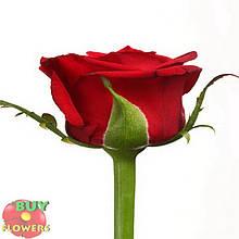 Роза бордовая Престиж 40 - 90 см