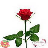 Роза бордовая Престиж 40 - 90 см, фото 2