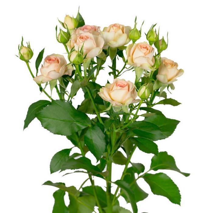 Роза спрей двухцветная Азоре.