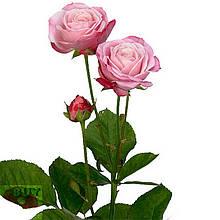 Леди Бомбастик роза веточная