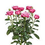 Леди Бомбастик роза веточная, фото 3